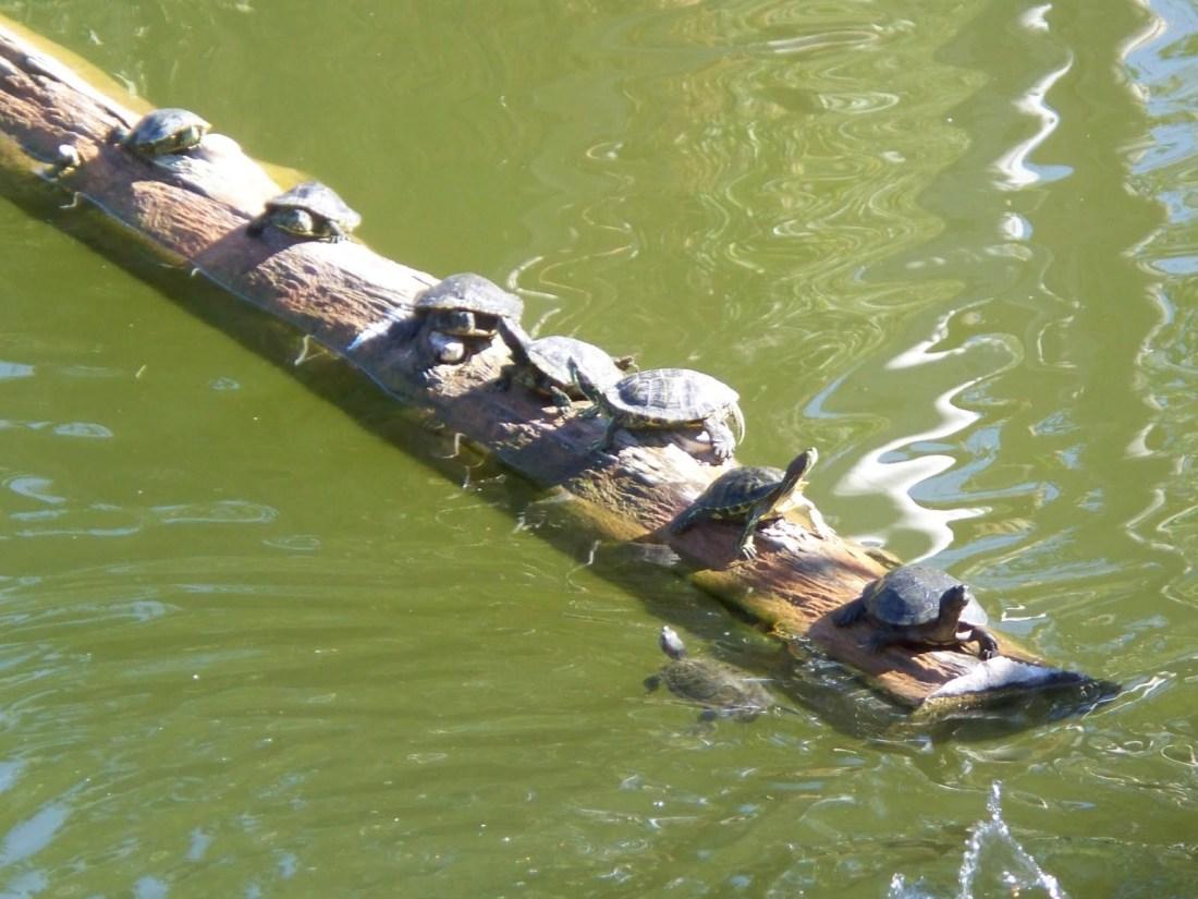 Phoenix Zoo turtles